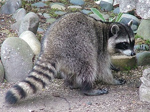 raccoon_300x225